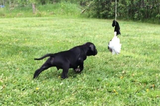 Puck ställer fågel