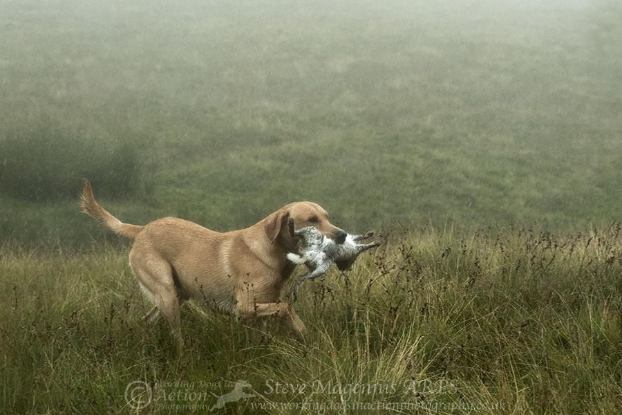Filou på kaninjakt i England