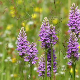 Spotted orchids in the meadow.