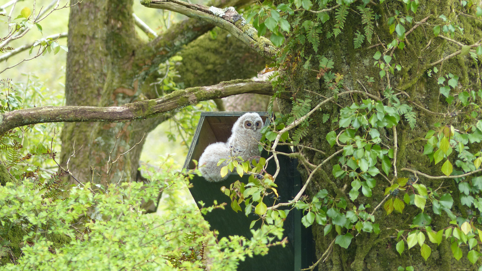 Tawny owl young