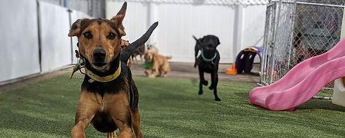 Dog Playing at Denver Dog Daycare