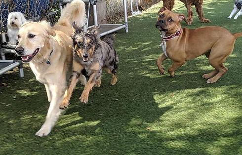 Multiple dogs at play at K-9 Castle Dog Daycare