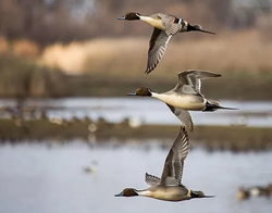"""Award of Merit - """"Three Pintails"""" by Julie Frost"""