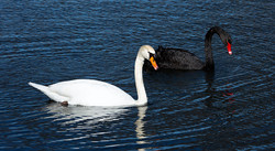 """HM Photography """"Swans in Parallel"""""""