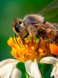"""""""Las abejas están en peligro de extinción"""" de AmarEsBio"""