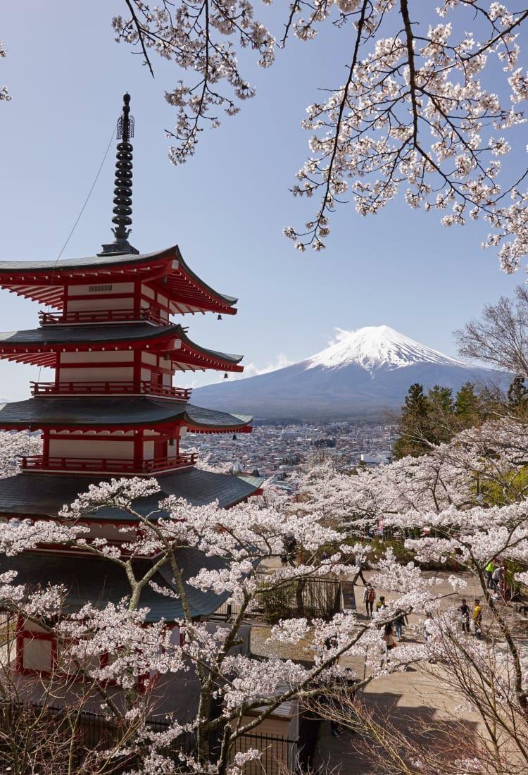 Der Fuji zur Kirschblüte