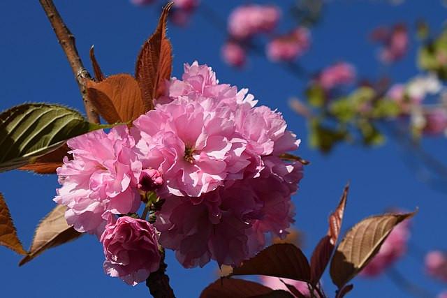 Kanzan Kirschblüten