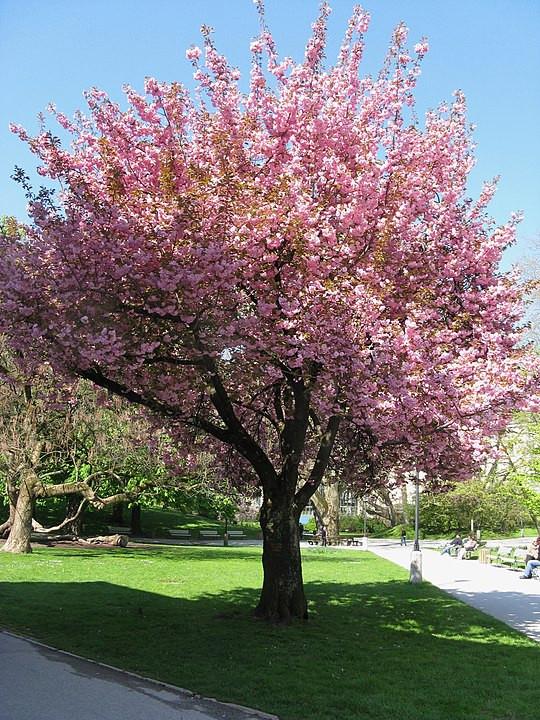 Kirschblüte im Kurgarten