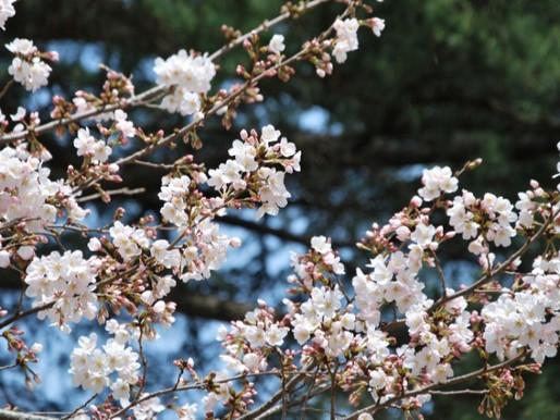Die schönsten Kirschblütenorte Österreichs
