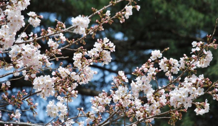 Kirschblüte in Shinjuku Tokyo