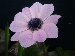 Anemone fulgens pink GNB EP.JPG