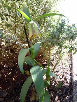 Fritillaria sp MD BG.JPG