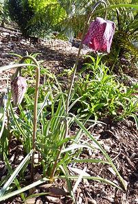 Fritillaria messanensis MD BG.jpg