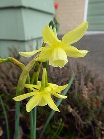 Narcissus 'Hawera' MD BG.JPG