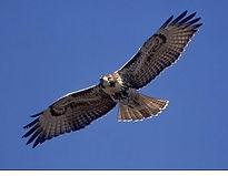 hawk2-1.jpg