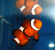 Clownfish aquarium installed by TerraReef