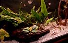 Clownfish fish tank