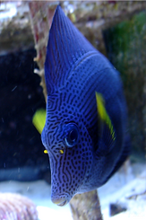 Reef Aquarium cleaning fish