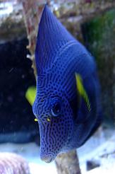 Reef Aquarium cleaning fish