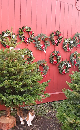 Nordmann Christmas Trees