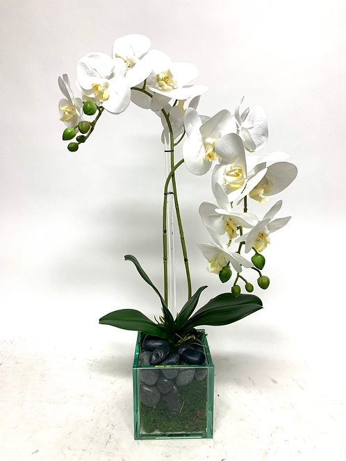 """3449 DOUBLE PHAL IN 5"""" GLASS CUBE"""