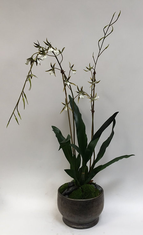 2578 Spider Orchid in Sm Pot 24x38