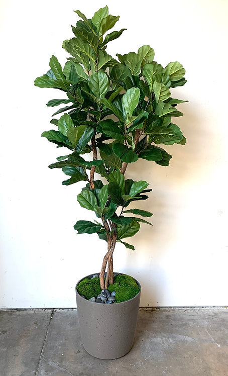 """2629-7RD 7' FIDDLE FIG IN 16"""" ROUND POT"""