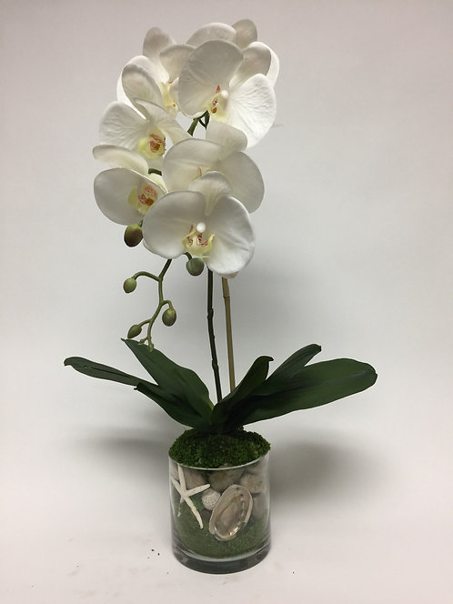 """431 Phal w/Shell in 5"""" Glass"""