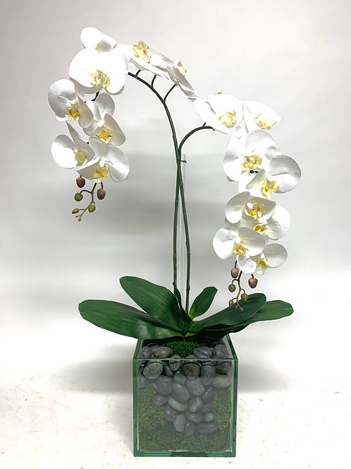 """3450 DOUBLE PHAL IN 8"""" GLASS CUBE"""