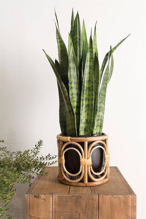 Boca Pot with Snake Plant