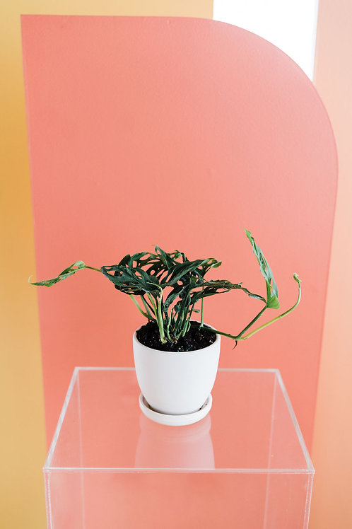 Swiss Cheese Plant with Vase