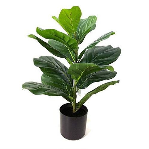 "12"" Lyrata Compacta ""mini fidde leaf fig"" tree"