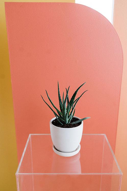 """6"""" Aloe Plant with vase"""