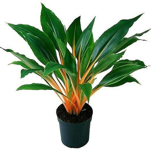 "6"" Chlorophytum Mandarin Orange"