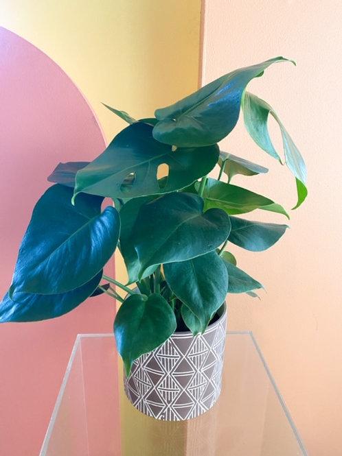 "6"" Split Leaf Philodendron with vase"