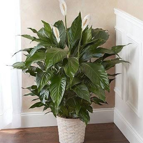 "Peace lily 8"" in basket"