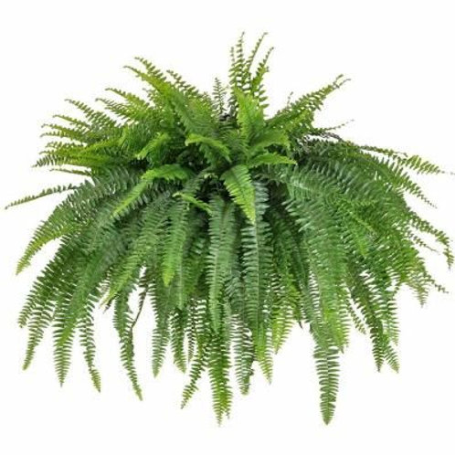 Boston Fern - Hanging