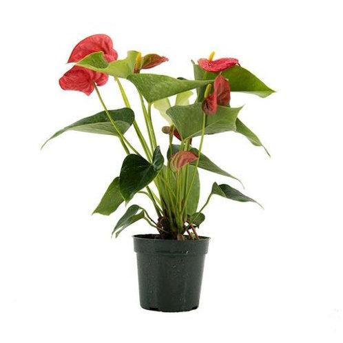 Cherry Anthurium