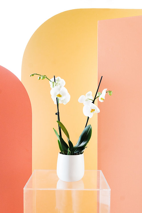 Double White Orchid with White Vase