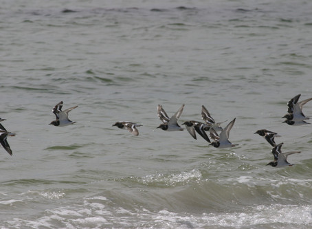 World Migratory Bird day, 9th May: Highlights from King Island