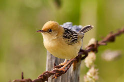Golden-headed Cisticola 3.jpg