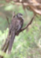 Yellow Wattlebird_KingIsland_Nov17_0U7A0