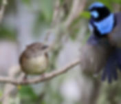 Tasmanian Scrubwren_KingIs_Nov17_0U7A165