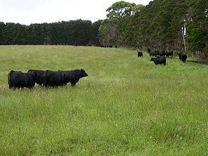 KI Cows 2 - Linda Payne.jpg