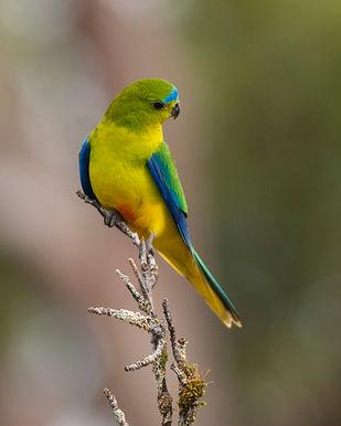 Orange-bellied parrot_GBB_0079.jpg