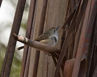 KI brown thornbill, Pegarah SF, King Isl