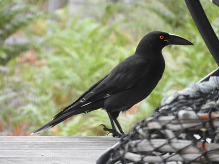 Black Currawong - young x kmr Mch 17.jpg