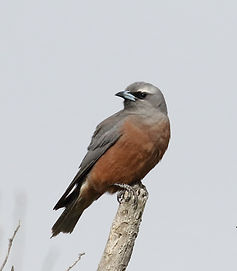 White-browed Woodswallow_KingIs_Nov17_0U