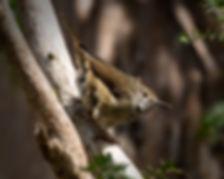 KI brown thornbill, King Island, TAS_GBB