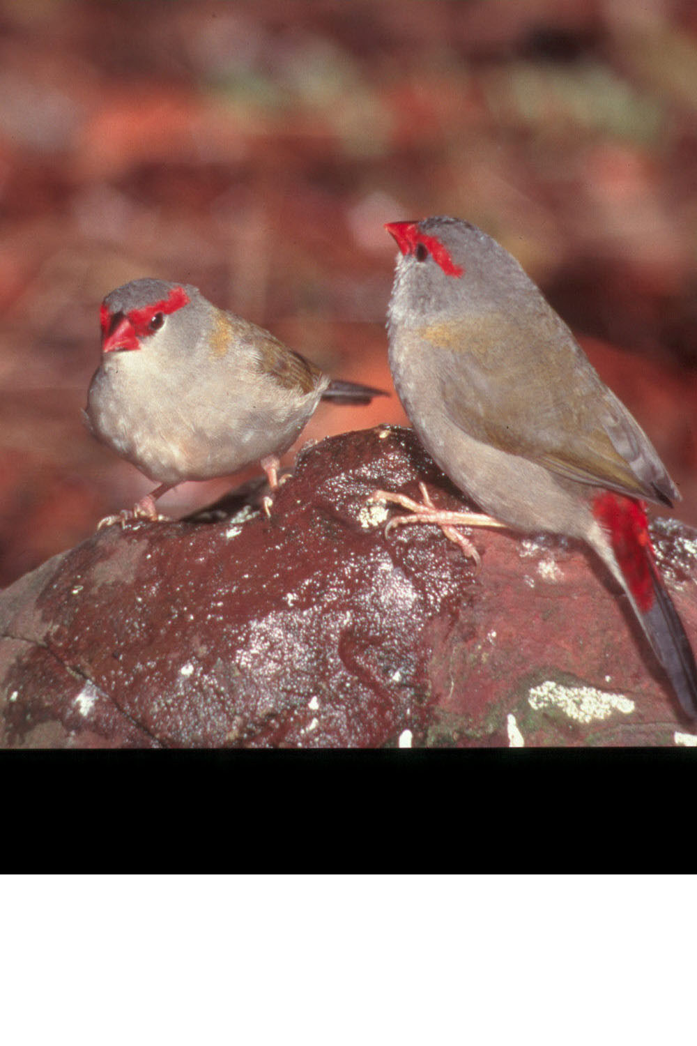 Red-browed Finch. These birds have not been recorded on King Island but are one of the bird species that may try and move south to find food. They are seed eaters so may well be seen in farm paddocks or grassy verges.